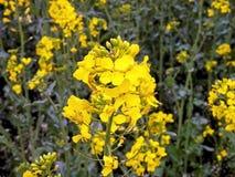Crop oilseed rape flower Royalty Free Stock Photos