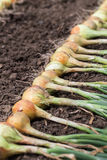 Crop of onion on the ground. Royalty Free Stock Photos