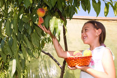 Crop of peaches. The girl collects ripe peaches from a tree. Summer fruit is full some vitamins Stock Image