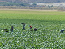 Field Workers Picking Crops Royalty Free Stock Photo