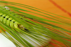 Crop Plant. Spikes of a fresh green crop on white stone and orange mat (Selective Focus Stock Images