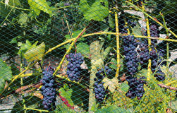 Crop protection. Net over grapes. Stock Photo