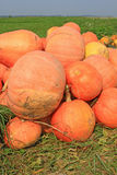 Crop of pumpkins in the field Stock Photography