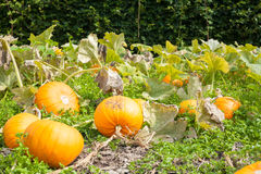 Crop of pumpkins growing in vegetable patch. Fresh organic local Royalty Free Stock Photo