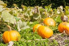 Crop of pumpkins growing in vegetable patch. Organic local produ Stock Photos