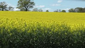 Crop of Rapeseed in the wind stock footage