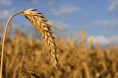 Crop ready for harvest. Wheat-rye-barley hybrid crop ready for harvest Stock Image