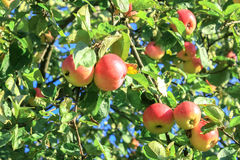 Crop of red  apples on an apple-tree Stock Photos