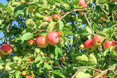 Crop of red  apples on an apple-tree Stock Photography