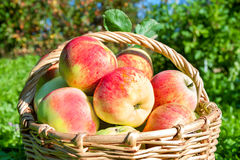 Crop of red juicy apples in a basket Royalty Free Stock Photos