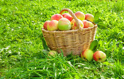 Crop of red juicy apples in a baskets Royalty Free Stock Photography