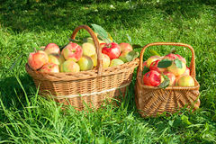 Crop of red juicy apples in baskets,thanksgiving holiday Stock Photo
