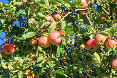 Crop of red ripe apples on an apple-tree in garden Royalty Free Stock Images
