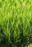 Crop and Rice Field Stock Photos