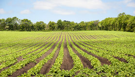 Crop rows. Rows of crops agricultural land in Denmark Stock Photography