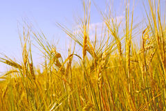 Crop of rye Stock Photos