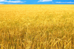 Crop of rye Stock Photography