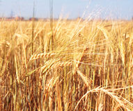 Crop of rye Royalty Free Stock Image
