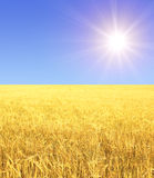 Crop of rye. Golden cereal and sun Stock Photos