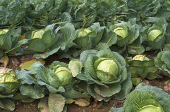 Crop of sauerkraut cabbage heads with leaves growing in field rows, ready to be cut, pickled, satueed, fried, stuffed, braised Stock Photos