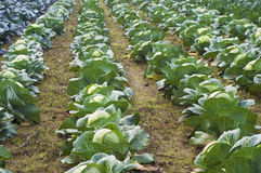 Crop of sauerkraut cabbage heads with leaves growing in field rows, ready to be cut, pickled, satueed, fried, stuffed, braised Royalty Free Stock Photo