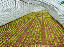 Crop of seedlings being cultivated in a tunnel Stock Photography