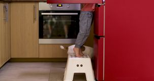 Baby searching food in fridge. Crop side view of curious toddler standing on stool near opened fridge with Jack Russell Terrier below in kitchen stock video