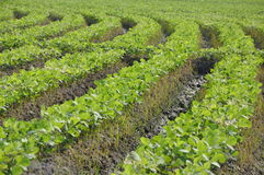 Crop of soybean plants Stock Image