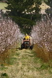 Crop spraying. Tractor spraying new blossoms with insecticide Stock Photos