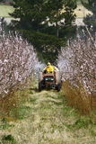 Crop spraying. Tractor spraying new blossoms with insecticide Stock Image