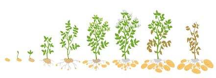Crop stages of potato. Vector Illustration growing plants. The life cycle. Harvest growth biology. Solanum tuberosum. Spud murphy tubers. On white background royalty free illustration