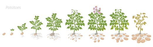 Crop stages of potatoes plant. Growing spud plants. The life cycle. Harvest potato growth animation progression. Solanum. Crop stages of potatoes plant. Vector stock illustration