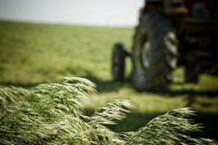 Crop Stalks Blowing in Field Stock Photo