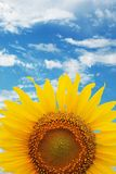 Crop of sunflower. With blue sky background royalty free stock images