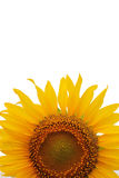 Crop of Sunflower Royalty Free Stock Photos