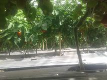 tomato crop royalty free stock image
