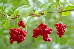 Crop of useful plant. Red schisandra hang in row on green branch. Branches of red schisandra. Clusters of ripe schizandra. Crop of useful plant. Red schizandra royalty free stock photos