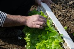 Crop view of man hands taking young fresh lettuce for plant it stock images
