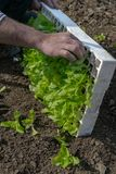 Crop view of man hands taking young fresh lettuce for plant it royalty free stock image
