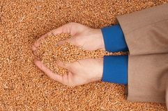 Crop wheat Royalty Free Stock Photography