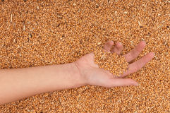 Crop wheat Stock Photography