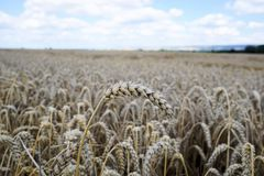 Crop, Wheat, Field, Grass Family stock images
