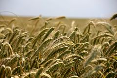Crop, Wheat, Grass Family, Food Grain Royalty Free Stock Images