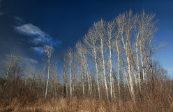 Birch Tree Stand Stock Photos