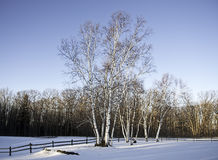 Stand of White Birch. A crop of white birch trees in the snow stand out against a blue winter sky Royalty Free Stock Photography