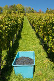 Crop of wine grapes in a vineyard Royalty Free Stock Photo