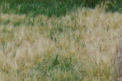 Cropfield está girando amarelo, logo pronto para colher imagem de stock royalty free