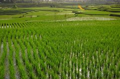 Cropland. The rice field in east Asia royalty free stock images