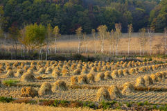 Cropland. Autumn rice fields after harvest scene stock image