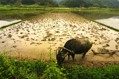 The cropland and the buffalo. The buffalo is working in the croplands stock images
